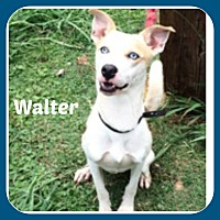 Adopt A Pet :: WALTER - Malvern, AR