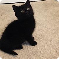 Adopt A Pet :: Fuzz - Chicago, IL