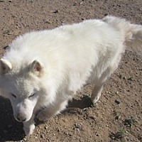 Adopt A Pet :: Bear - Santa Fe, NM