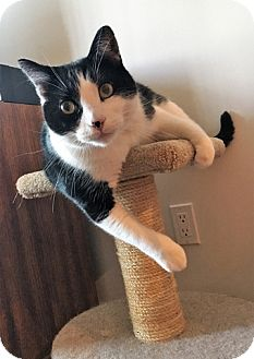 Domestic Shorthair Cat for adoption in Vancouver, British Columbia - Cody