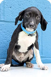 Whippet/Hound (Unknown Type) Mix Puppy for adoption in Waldorf, Maryland - Jarvis