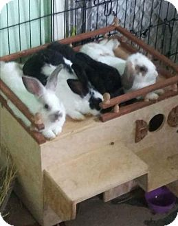 Lop, Holland Mix for adoption in West Palm Beach, Florida - Darien