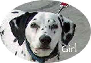 Dalmatian Dog for adoption in Mandeville Canyon, California - GIRL