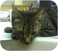 Domestic Shorthair Cat for adoption in Tampa, Florida - Toby