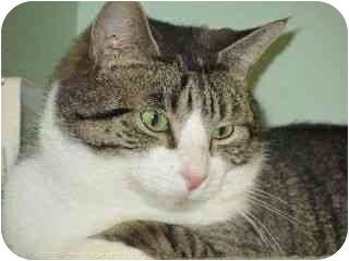 Domestic Shorthair Cat for adoption in Port Republic, Maryland - Quill