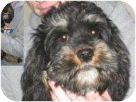 Cocker Spaniel Dog for adoption in Antioch, Illinois - Teddy (Bear)