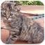 Photo 1 - Calico Kitten for adoption in Mt. Prospect, Illinois - Mocha