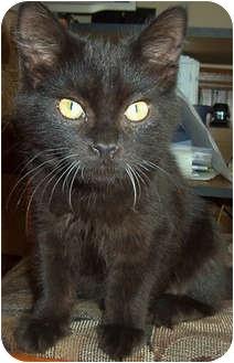 Domestic Mediumhair Kitten for adoption in Mt. Prospect, Illinois - Orlando