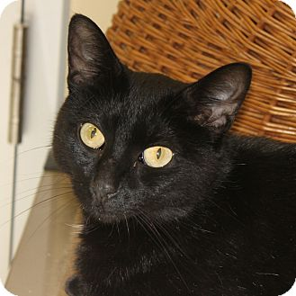 Domestic Shorthair Cat for adoption in West Dundee, Illinois - Racine