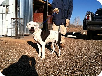 Dalmatian Mix Dog for adoption in Childress, Texas - Blue
