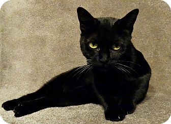"""Domestic Shorthair Cat for adoption in Florence, Kentucky - Black Inked Elegance (""""INKY)"""