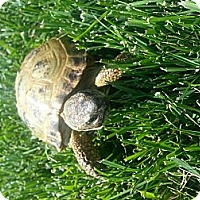 Adopt A Pet :: Torty - San Clemente, CA