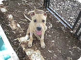 Labrador Retriever Mix Puppy for adoption in Fair Oaks Ranch, Texas - Kramer