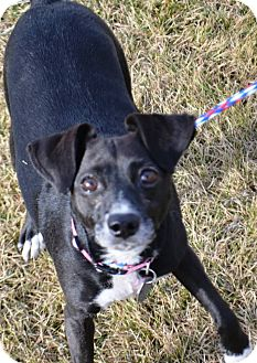 Rat Terrier/Chihuahua Mix Dog for adoption in Fruit Heights, Utah - Pooka