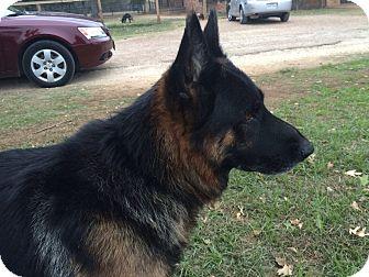 German Shepherd Dog Dog for adoption in Fort Worth, Texas - Romeo