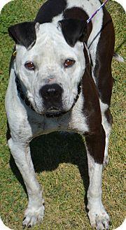 American Bulldog/Pit Bull Terrier Mix Dog for adoption in Fruit Heights, Utah - Ruff