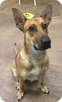 Shepherd (Unknown Type) Mix Dog for adoption in Parma, Ohio - Atlas