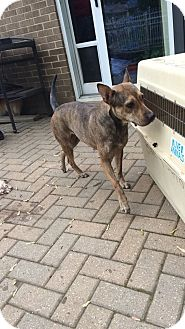 Shepherd (Unknown Type)/Terrier (Unknown Type, Medium) Mix Dog for adoption in Traverse City, Michigan - Cami