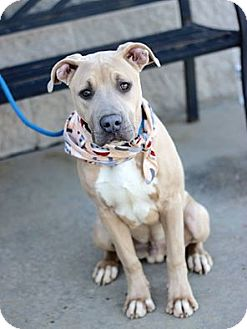 Pit Bull Terrier/American Staffordshire Terrier Mix Dog for adoption in Chicago, Illinois - Angus