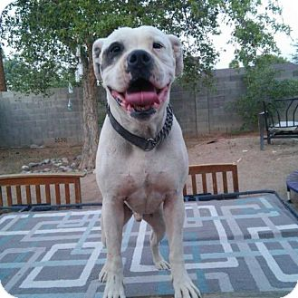 American Bulldog Dog for adoption in Phoenix, Arizona - Hobbs