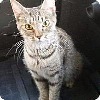 Adopt A Pet :: Gretchen - Putnam, CT