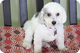 Poodle (Miniature) Mix Dog for adoption in Allentown, Pennsylvania - Molly - great therapy dog