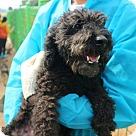 Adopt A Pet :: Poodie - Adoption Pending