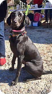 Labrador Retriever/Greyhound Mix Dog for adoption in Cumming, Georgia - Onyx