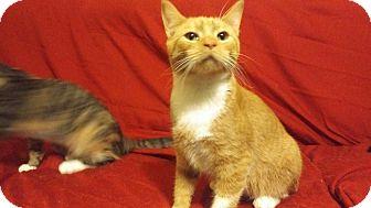 Domestic Shorthair Cat for adoption in Exton, Pennsylvania - Mark (MT)
