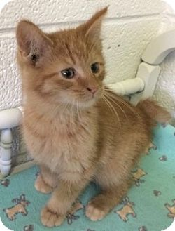 Manx Kitten for adoption in White Cloud, Michigan - Finn