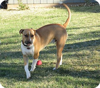 American Staffordshire Terrier/Boston Terrier Mix Dog for adoption in Yukon, Oklahoma - Chaac