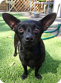 Chihuahua/Patterdale Terrier (Fell Terrier) Mix Dog for adoption in Santa Ana, California - Max