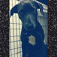 Labrador Retriever/Weimaraner Mix Dog for adoption in Bryan, Texas - Lettie