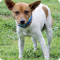 Jack Russell Terrier Mix Dog for adoption in Waldorf, Maryland - Ziti