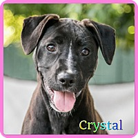 Adopt A Pet :: Crystal - Hollywood, FL