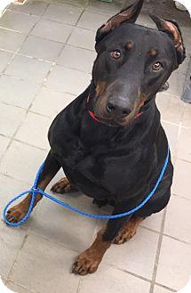 Doberman Pinscher Mix Dog for adoption in University Park, Illinois - Dante