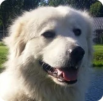 Great Pyrenees Mix Dog for adoption in Silver Spring, Maryland - Theodora