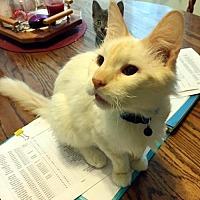 Siamese Cat for adoption in White Bluff, Tennessee - Sammy/KK