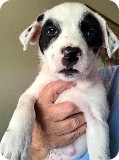 Border Collie/Australian Shepherd Mix Puppy for adoption in Cave Creek, Arizona - Ginger