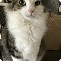 Domestic Mediumhair Cat for adoption in Valley Stream, New York - Kingsley