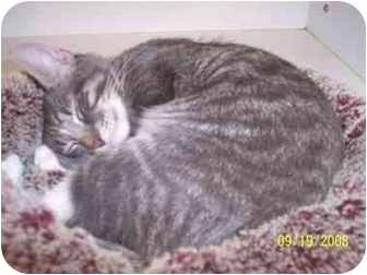 Domestic Shorthair Kitten for adoption in Arlington Heights, Illinois - Robbie