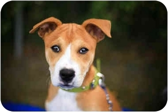 Jindo/Terrier (Unknown Type, Medium) Mix Puppy for adoption in West Los Angeles, California - Stryker