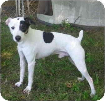 Jack Russell Terrier Dog for adoption in Randolph, New Jersey - Tukan