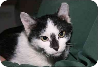 Domestic Shorthair Kitten for adoption in Cincinnati, Ohio - Cosmos