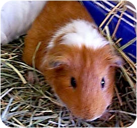 Guinea Pig for adoption in Fullerton, California - Astro & Dennis