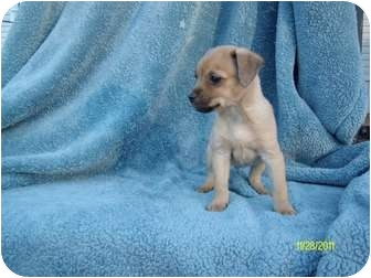 Chihuahua Mix Puppy for adoption in Wilminton, Delaware - Chihuahua 3