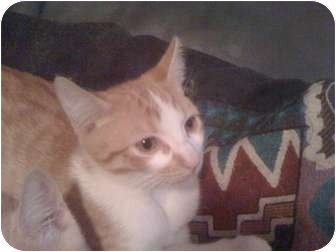 Domestic Shorthair Kitten for adoption in Phoenix, Arizona - Tiger