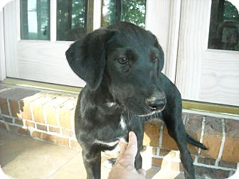 Labrador Retriever Mix Puppy for adoption in berwick, Maine - Ivy