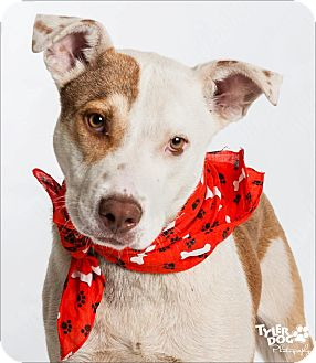 Cattle Dog Mix Dog for adoption in La Crosse, Wisconsin - Bosco