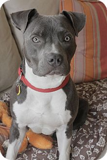 American Staffordshire Terrier Dog for adoption in Oak Creek, Wisconsin - Hudson - Lil' Guy!